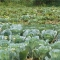 Cabbages grown for both home consumption and cash generation on a small piece of land